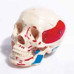 Crâne classique peint 3 parties