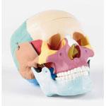 Crâne taille réelle avec os colorés