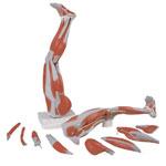 Muscles de la jambe, 9 parties