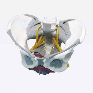 Bassin avec ligaments, nerfs et muscles du plancher pelvien